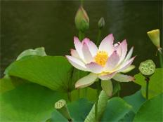 heart-soul-lotus-in-company_232x174
